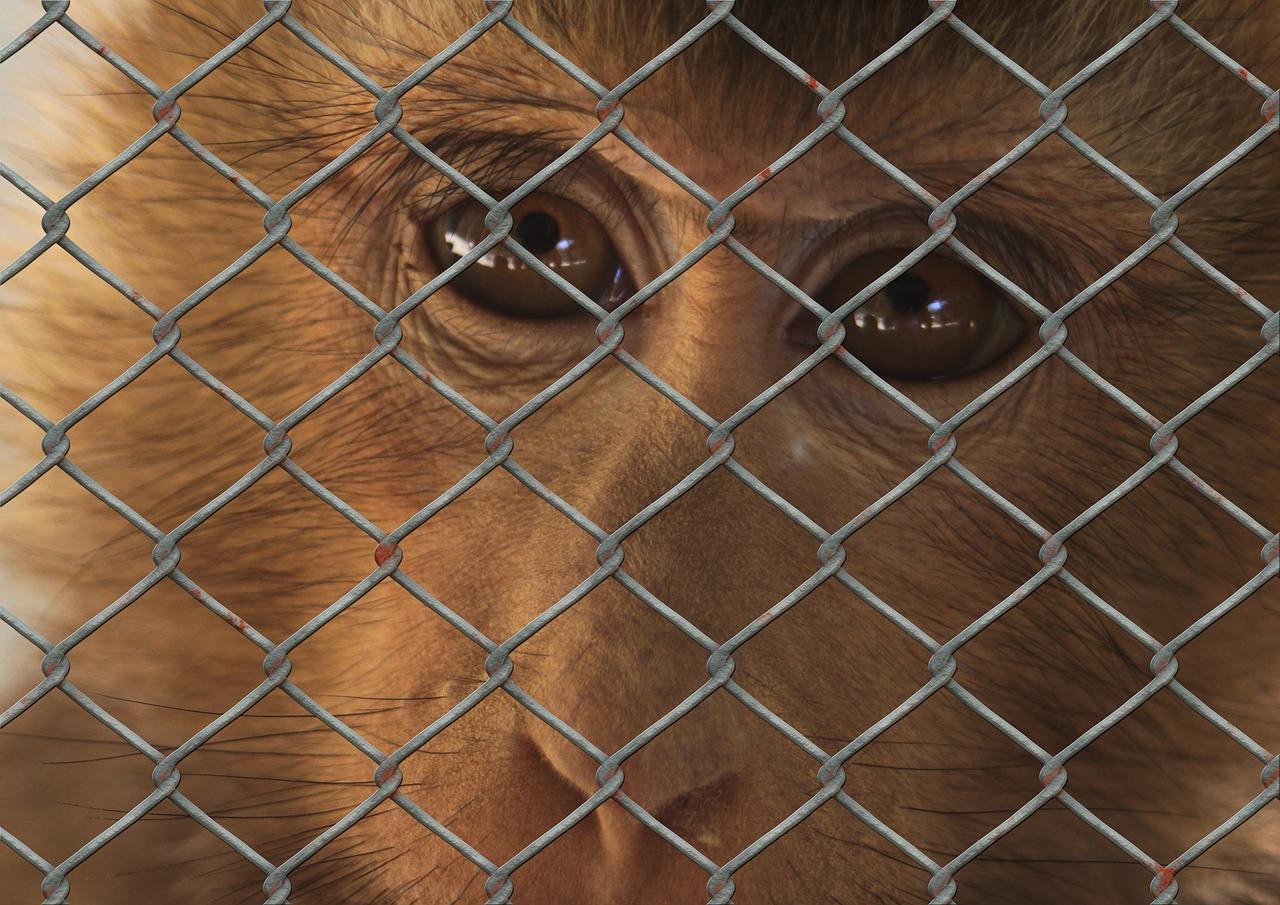 monkey-captured